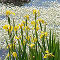 Kleurrijke oeverplanten voor de zwemvijver
